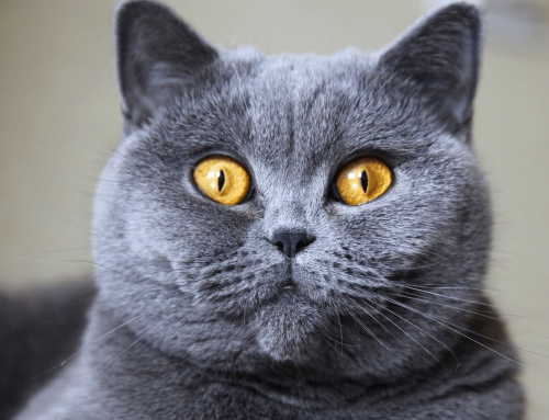 BRITISH SHORTHAIR KEDİSİ